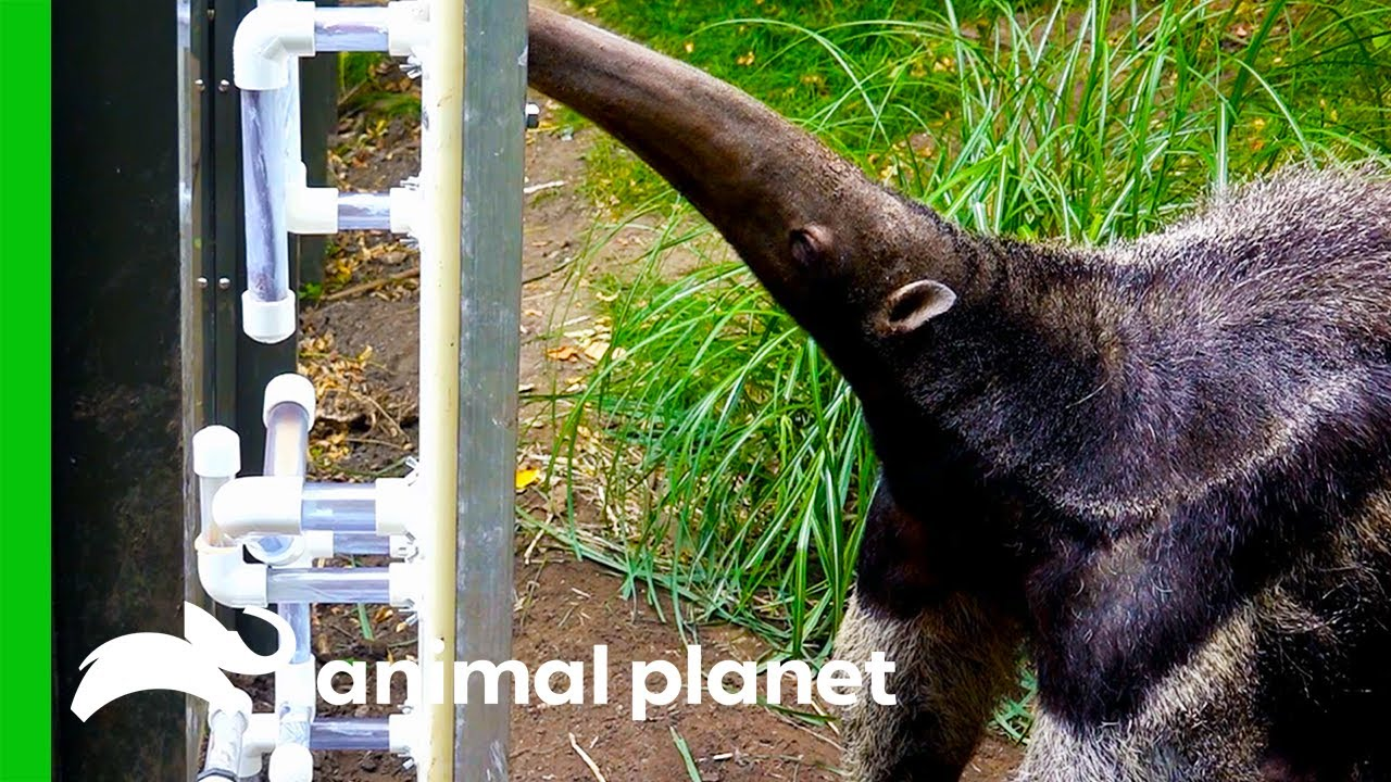 Giant Anteater Gets New Transparent Feeding Tubes To Showcase Her Tongue Skills | The Zoo