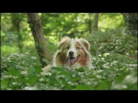 Liloo, Australian shepherd, tricks, agility, & fun