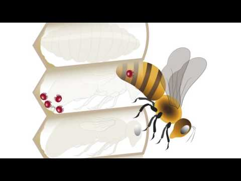 Varroa spread, life cycle and population growth