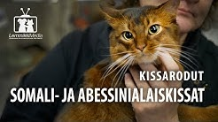 Kissat: Somali- ja Abessinialaiskissat