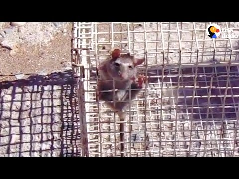Rescuers Free Rat Stuck In Wire Cage