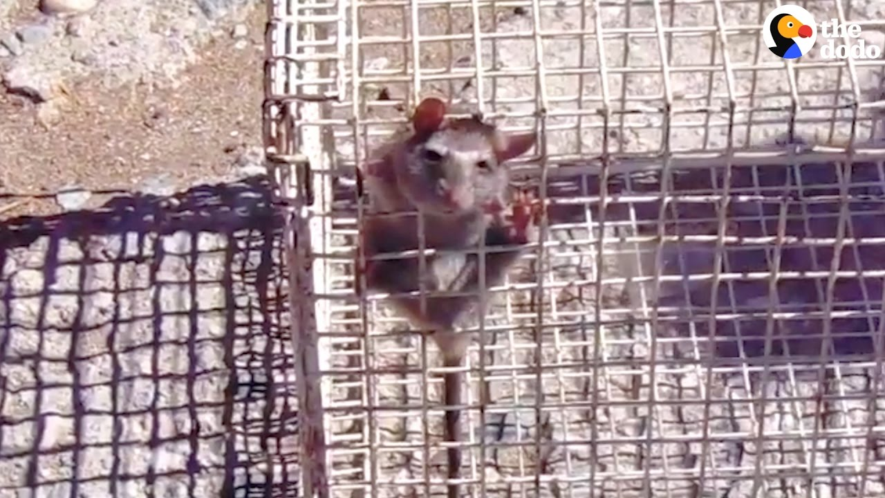Rescuers Free Rat Stuck In Wire Cage   The Dodo