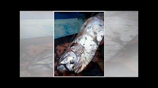 Chile: extraña especie marina que pescaron en Iquique - Noticias