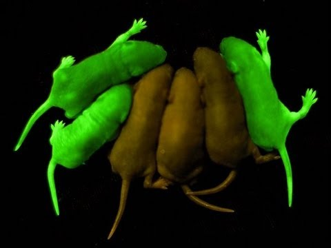 Glowing Rats and Extreme Genetic Engineering