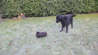 Puppy Meets Large Dog - Buddy Meets Denzel