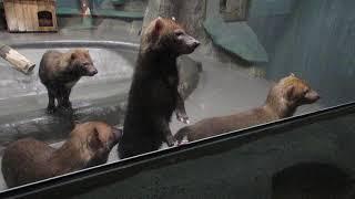 Кустарниковые собачки в ожидании еды 08.11.17