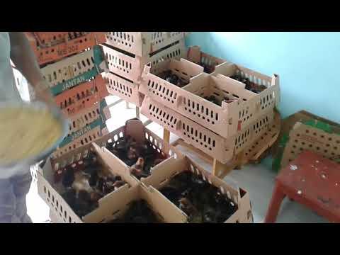 Jual DOC Ayam Kampung dominan Hitam @HASIL UNGGAS FARM