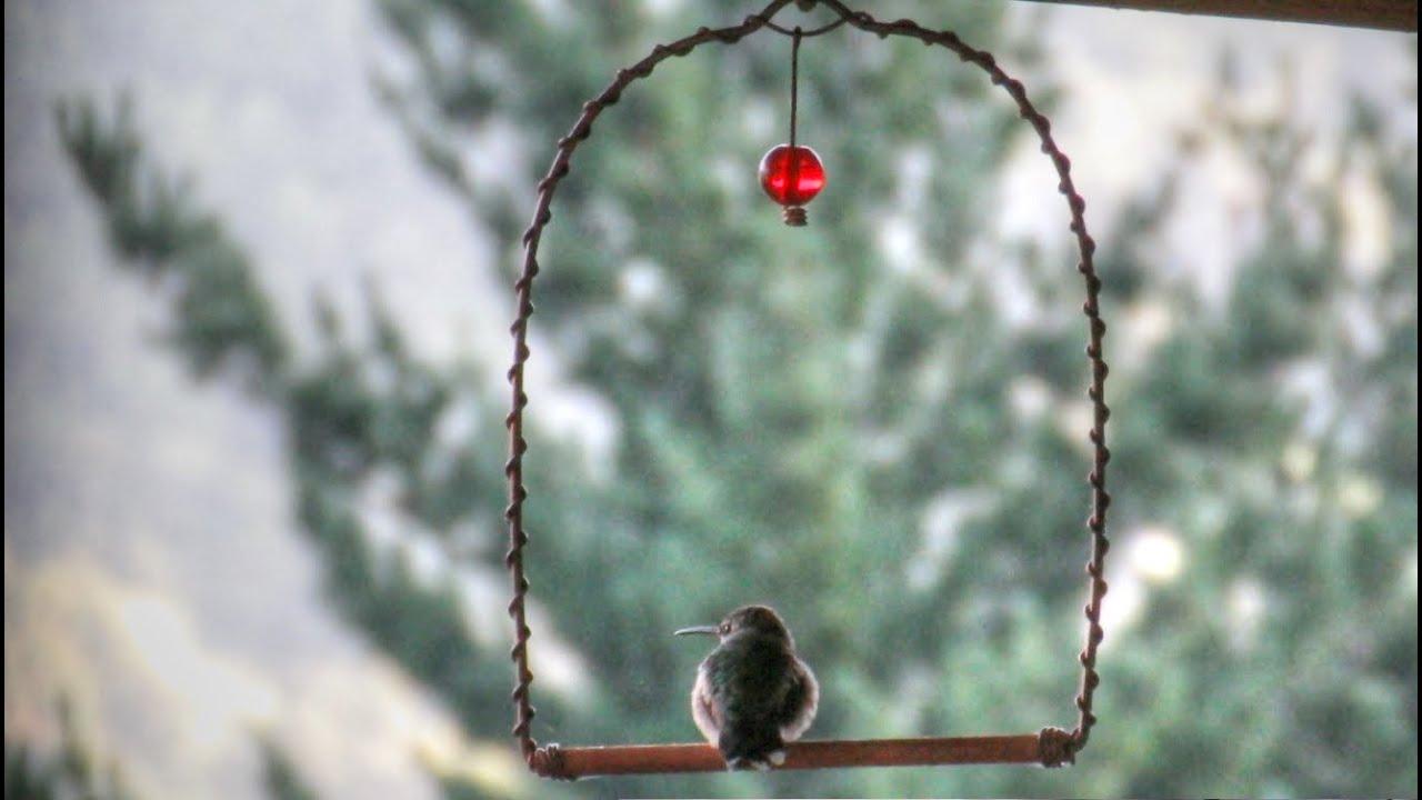 Hummingbird Swing Perch Youtube