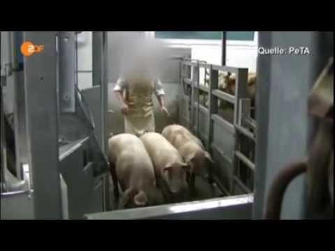 Schweine Schlachten Lebendig