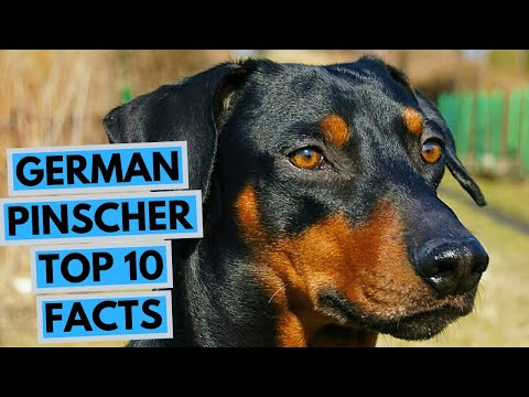 German Pinscher - TOP 10 Interesting Facts