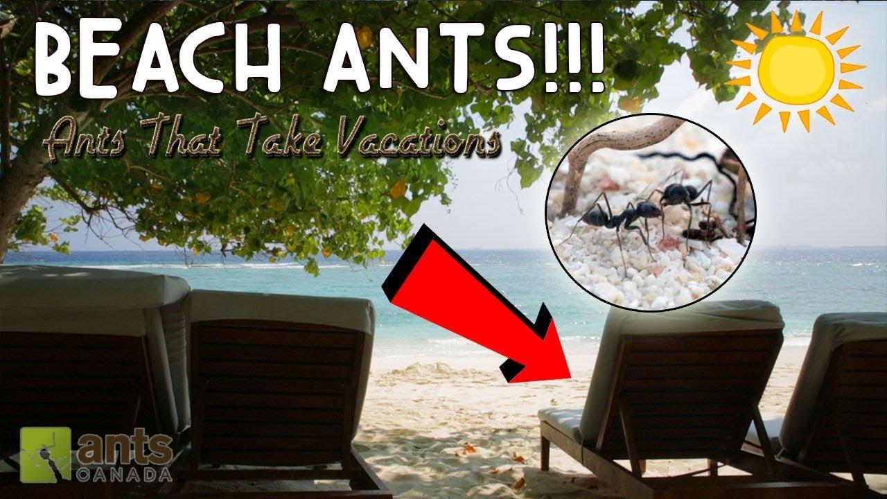 beach-ants