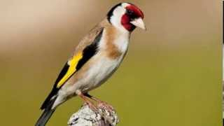chant chardonneret sauvage khalwi goldfinch تغريد مقنين خلوي