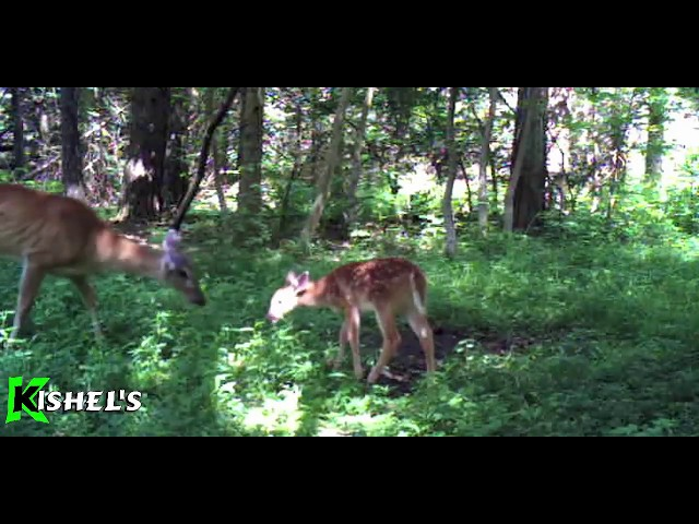 Predator vs Prey at  Kishel's Mock Scrape