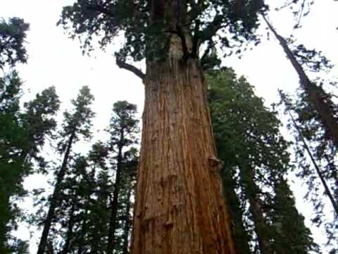 GENERAL SHERMAN TREE IN SEQUOIA NATIONAL PARK セコイア