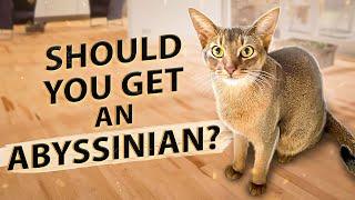 ¿Deberías tener un abisinio? 10 cosas que desearía haber sabido antes de tener un gato abisinio