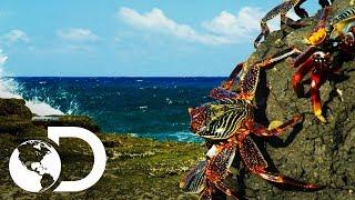 Cangrejos arriesgan su vida para desayunar | Planeta Azul II | Discovery Latinoamérica