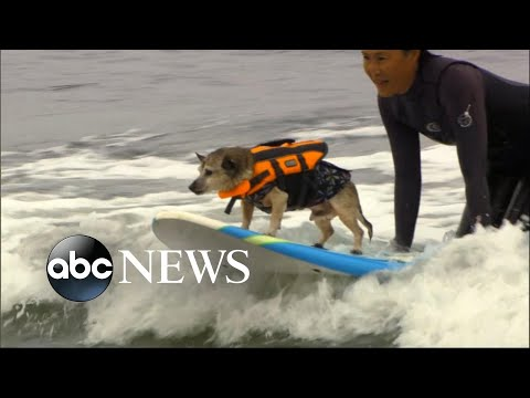 Surfing dogs make splash at world championship