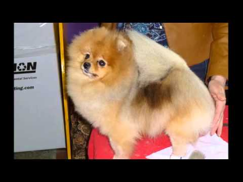 beautiful pictures of dogs breed Pomeranian
