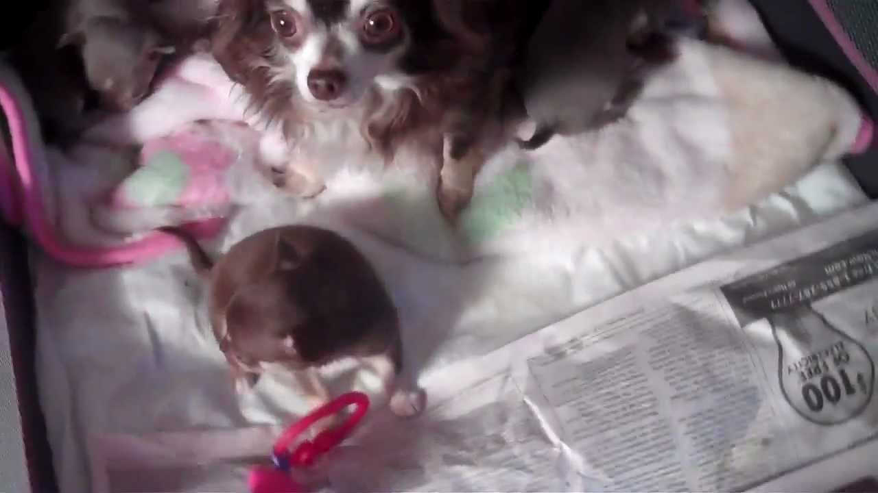 Teacup Micro Pocket Chihuahua Applehead Babies For Sale In Houston Texas Look Tinypawsandclaws