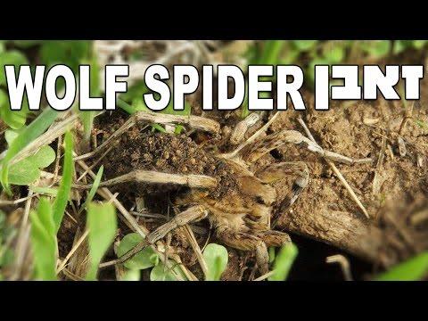 עכביש זאבן נקבה נושאת אבקועים על גב הבטן Wolf Spider (Lycosidae Hogna cf. graeca)