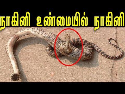 நாகினி உண்மையில் நாகினி  | Real Nagini Found In Tamil Nadu | Snake With Legs