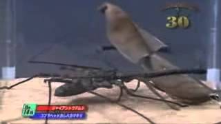 aydın peygamber devesi ilaçlama aydın Peygamber devesi ile örümcek kavgası Böcek Dövüşleri Video