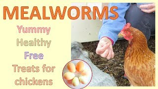 Mealworms -  nutritious and free treats for chickens