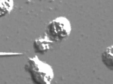 Цитокины и нейтрофилы.mov
