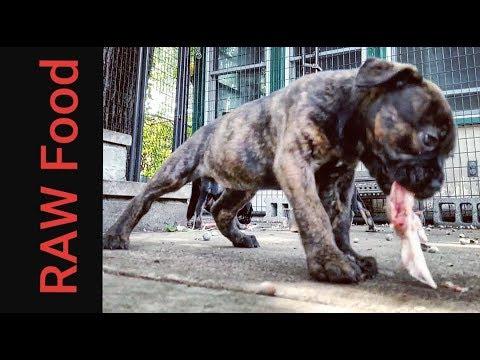 Bulldogge Puppies Eat RAW Food