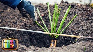 Как посадить розу весной Все правила посадки Кратко и по делу