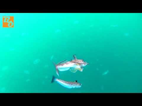 Çapari 'de  Kırlangıç Balığı ve Trakonya