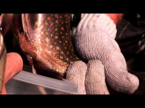 Trophy Brook Trout Conservation - Fly Nation TV Preview