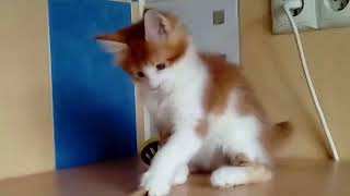 Мейн-кун продажа котят