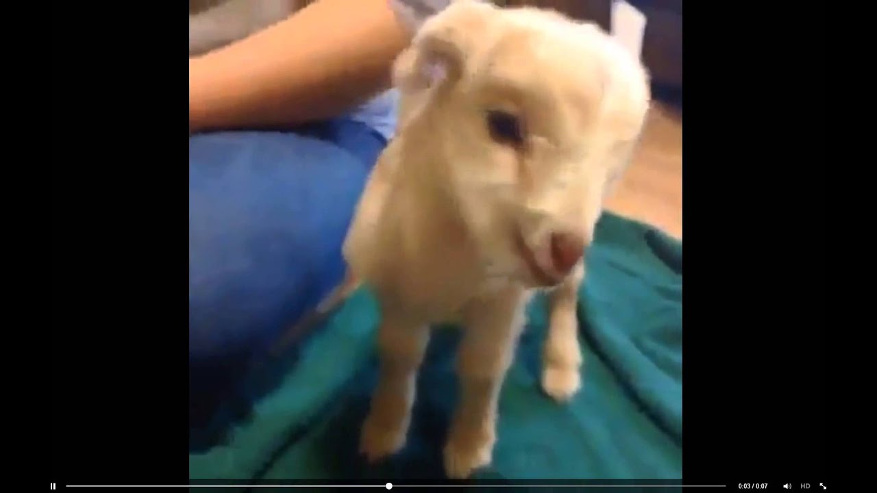 Funny Screaming Goat Ollie - A Yelling Goats Video - YouTube  Mom Screaming Goats Funny