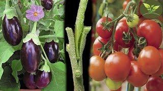 Patlıcan Üzerine Domates Aşılamak | Daha Verimli