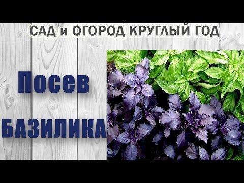 Базилик выращивание, фото. Базилик на подоконнике