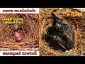 Pakan Loloh Dan Cara Meloloh Cindil Murai Sampai Trotol Hindari Induk Buang Makan Anakan  Mp3 - Mp4 Download