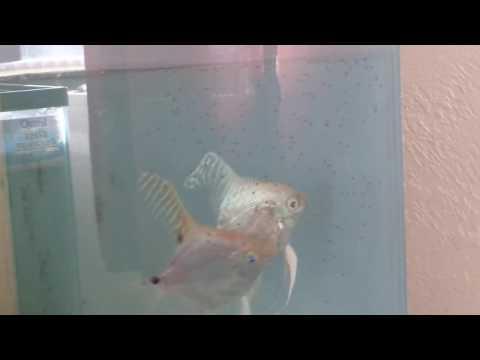 Platinum Snakeskin / Gold Marble Ghost Angelfish
