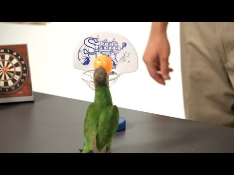 Teach Your Parrot to Dunk a Basketball | Parrot Training