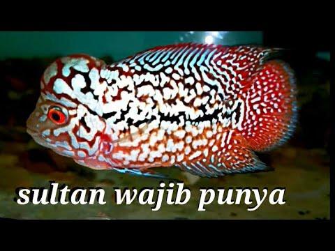 Ikan Louhan Termahal Dan Paling Di Cari Di 2020