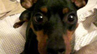 My Min Pin Acting Crazy For The Camera