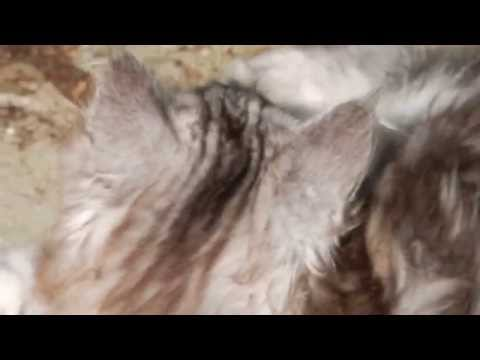 25 9 2014 024 cattery shanna Maine Coon en turkish angora 67