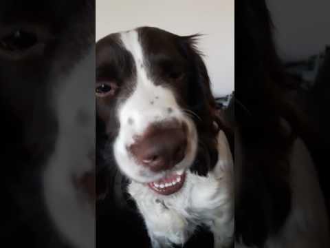 English springer spaniel trying to say i love you