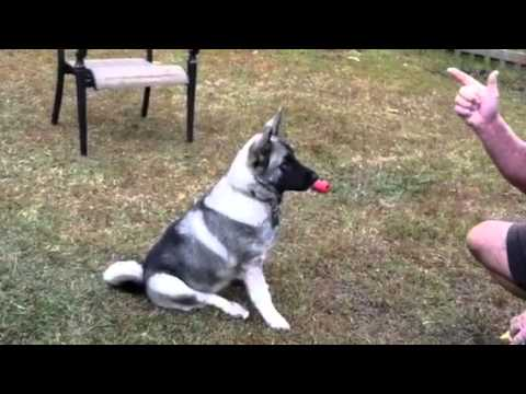 Norwegian Elkhound Puppy Cute and Smart