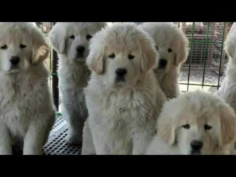 White And Pale Gold Tibetan Mastiffs From China ( $6600)