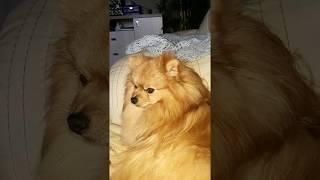 Супер видео ,как собака умывается,как кошка!