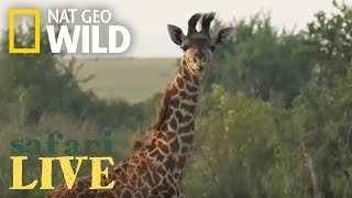 Safari Live - Day 82 | Nat Geo WILD thumbnail