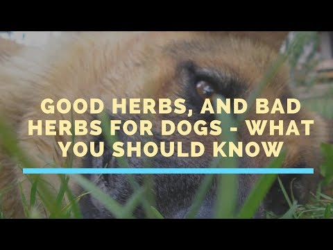 Good Herbs, And Bad Herbs For Dogs - What You Should Know