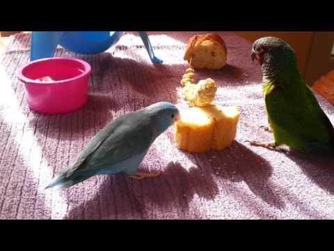 Pyrrhura leucotis emma & pacific parrotlet cobalt