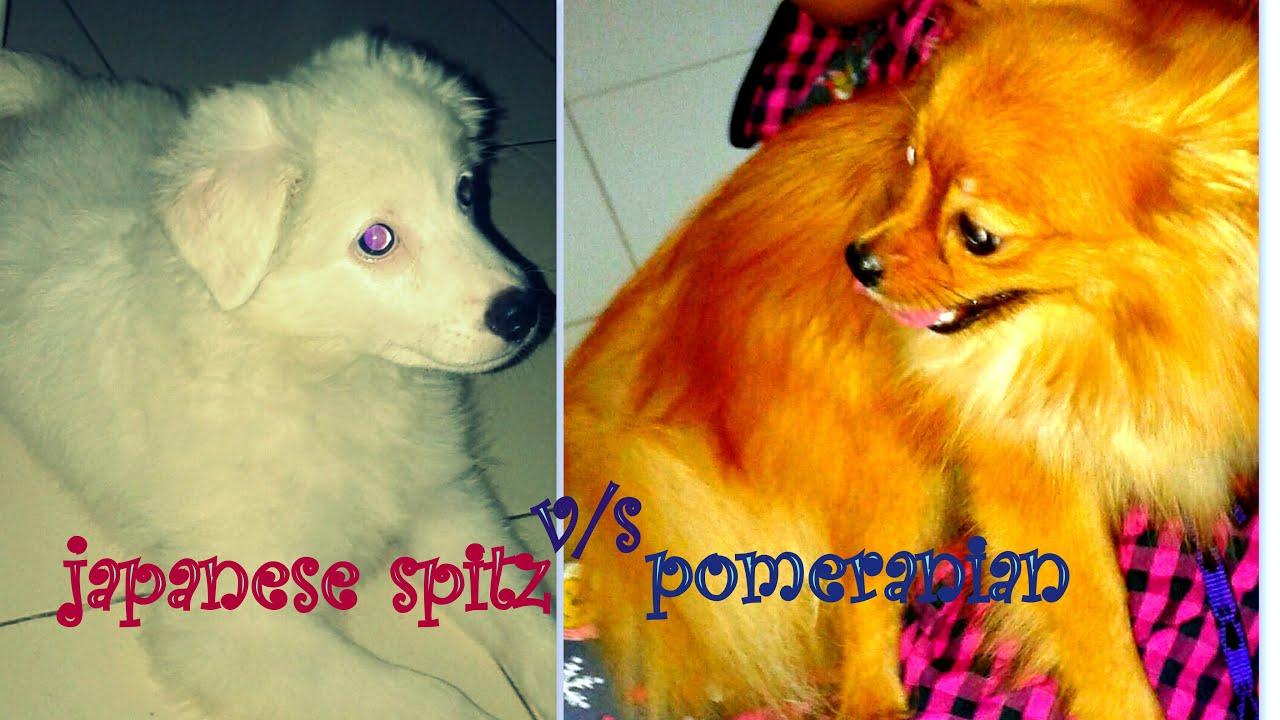 Best Dogs Comparision Japanese Spitz Versus Pomeranian Funny